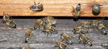 Bienenlehrpfad Burgau Bienen