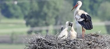 Altstorch mit 3 Jungstörchen, Copyright: Friedrich Steinle
